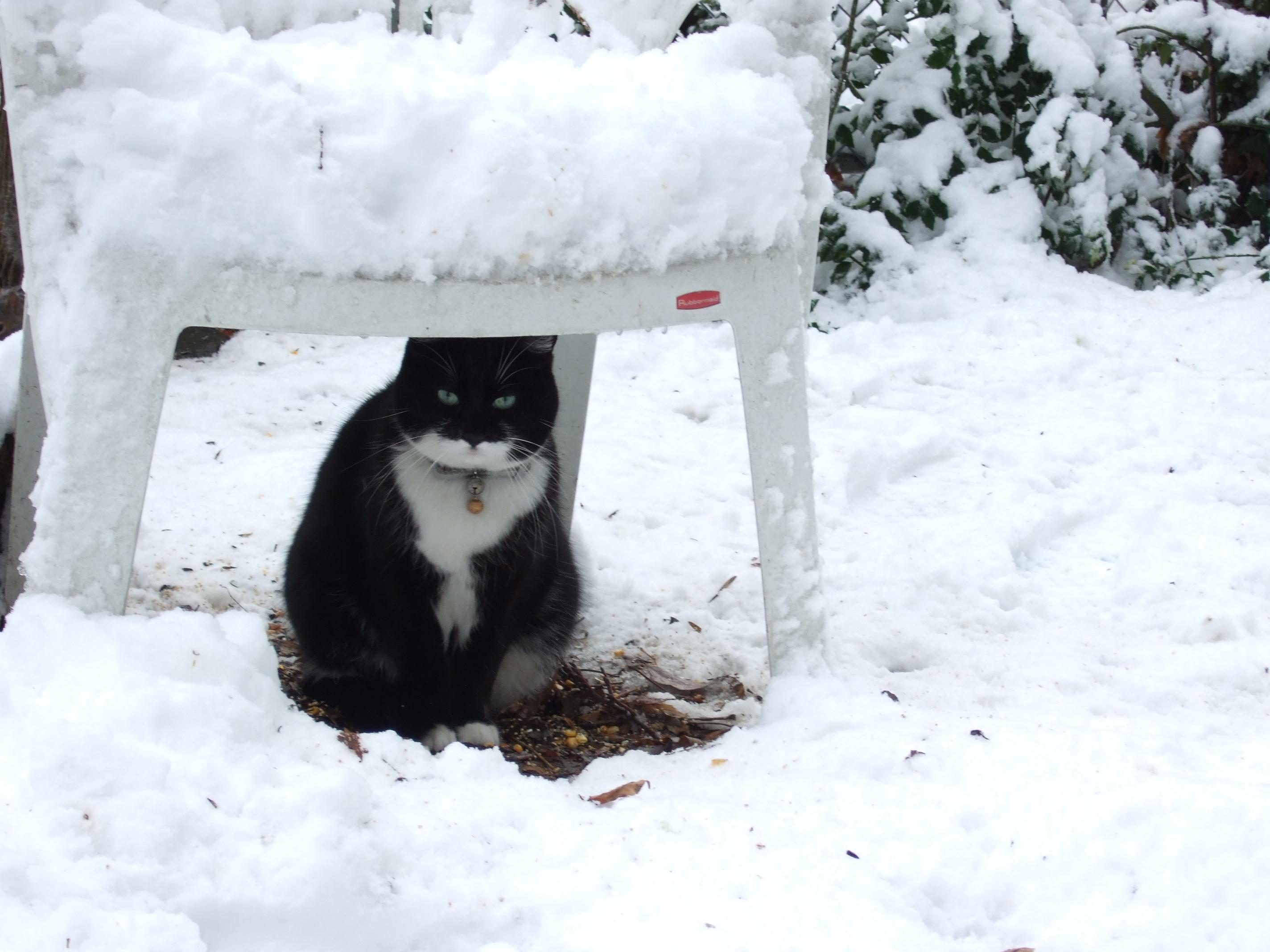 01152008DSCF0509 Tess Heder's Tuxedo Cat Pookie Loopiter