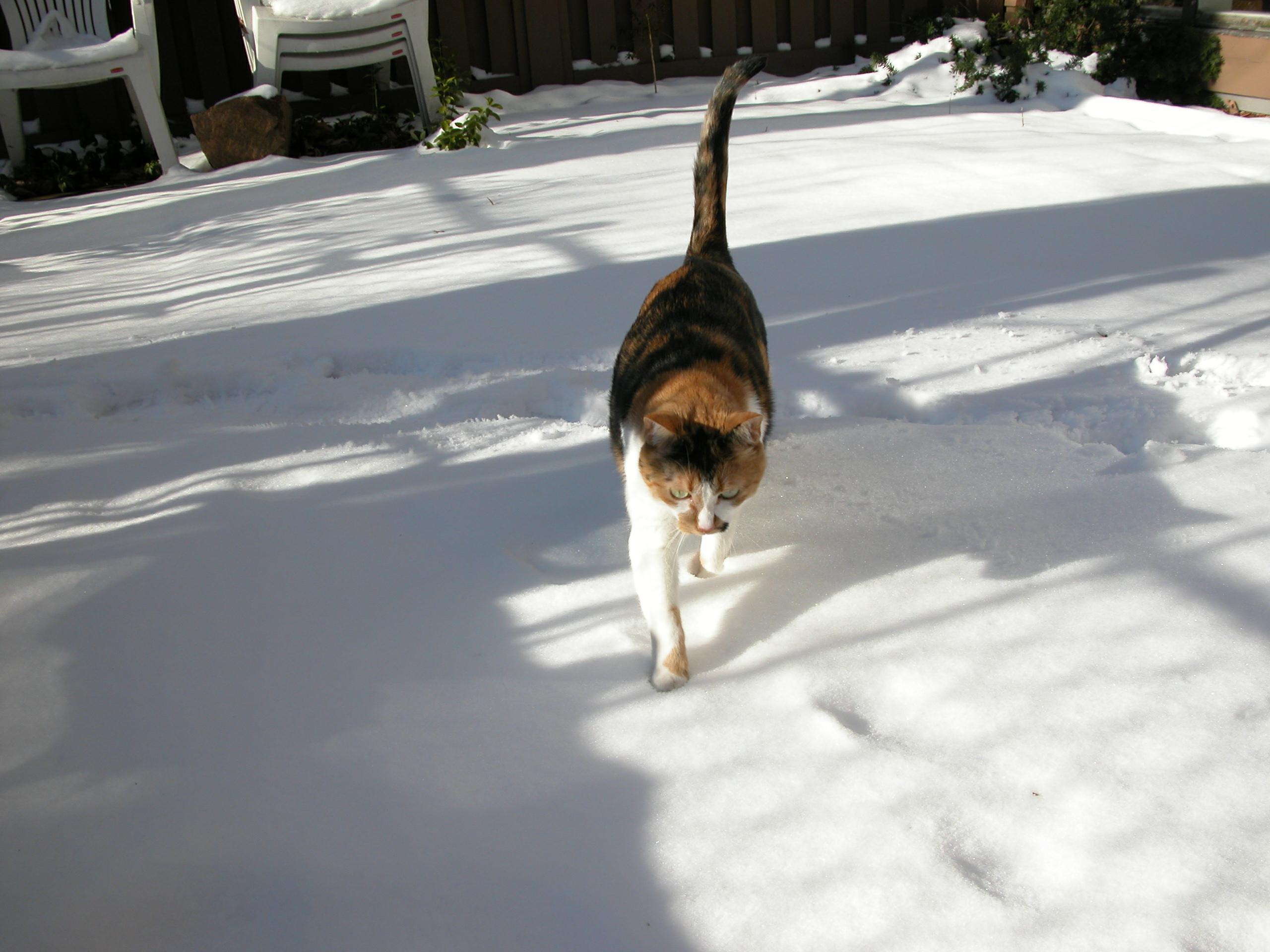 02092003DSCN2091 Tess Heder's Calico Queen Cat